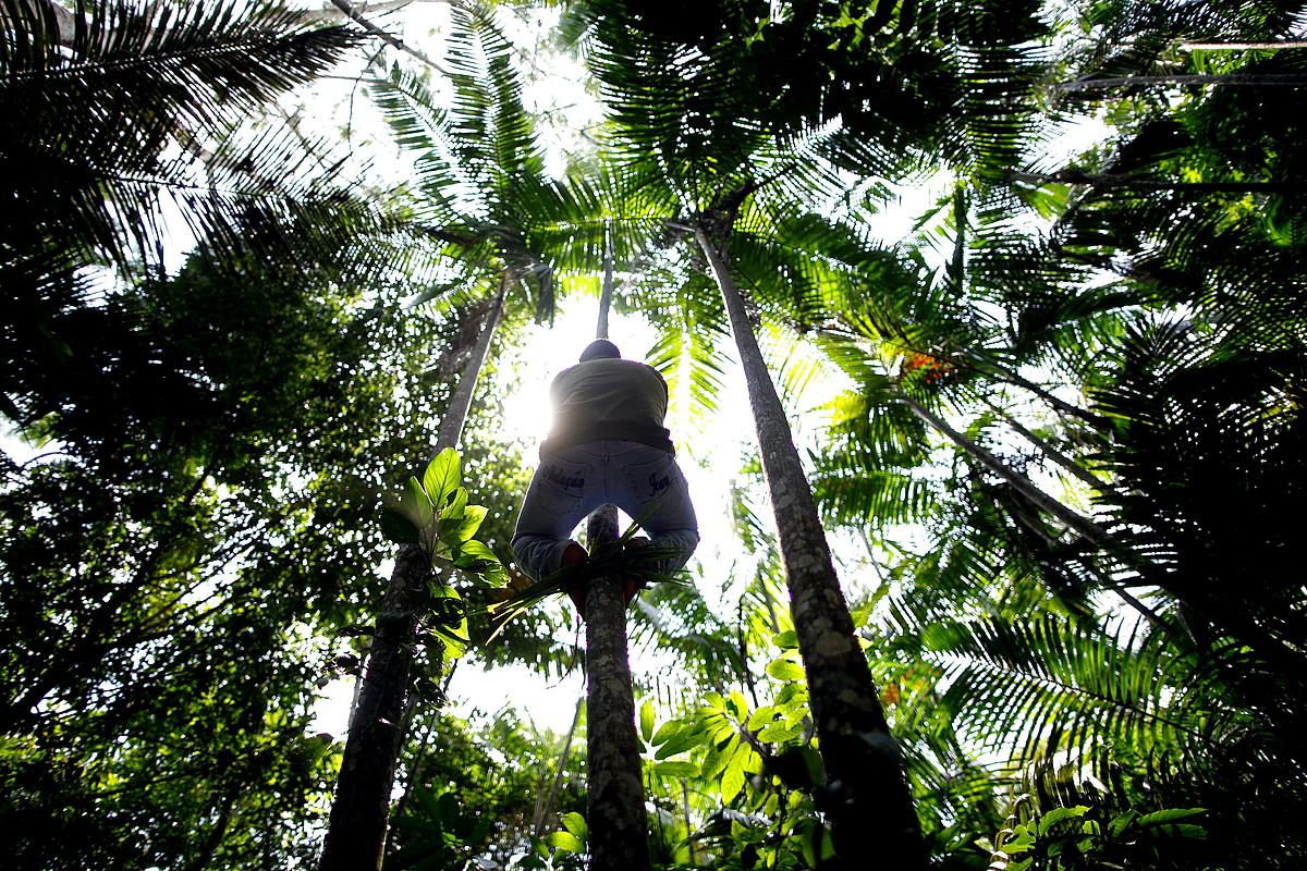 Brasilgo Amazoniako oihaneko arbola gainetan, produktu kosmetikoak egiteko lehengai bila.
