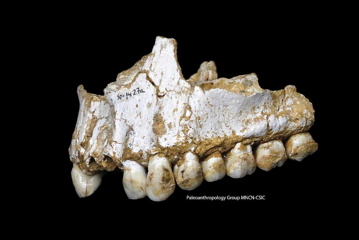 Paleoanthropology Group MNCN-CSIC ikerketa taldeak hedatutako argazkia; neandertalen masailezur bat da.