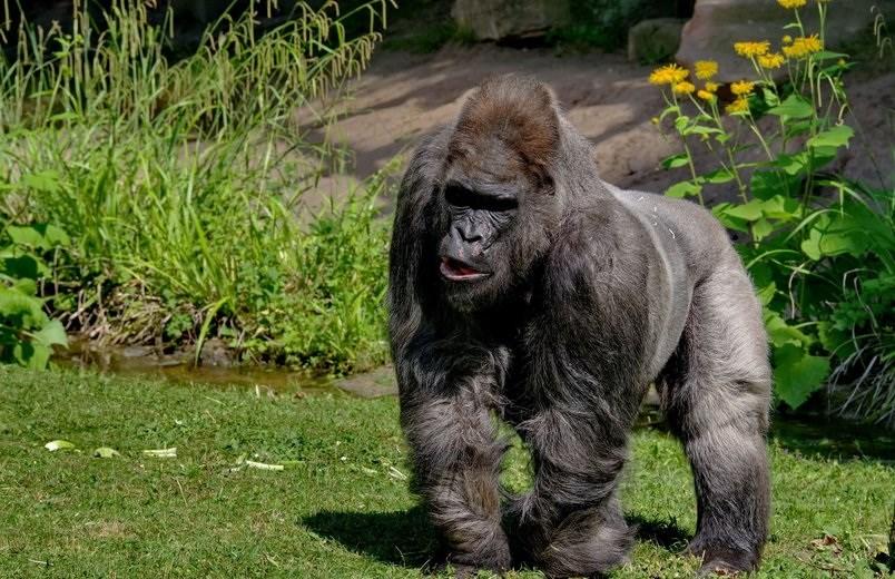 Fritz gorila zoologikoan./ ©Tiegarten Nürnberg