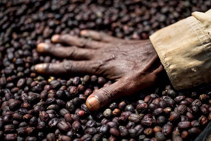 Modu naturalean lehortutako kafea, Etiopian. ©Alan Schaller / Union Hand-Roasted Coffee