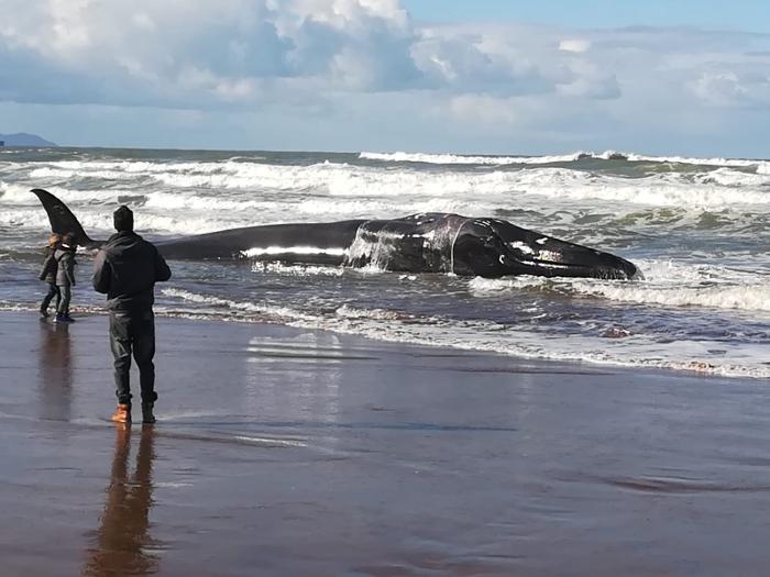 Sopelako Atxabiribil hondartzan larri zaurituta agertu den balea. ©Mikel Otero, @otero_mikel