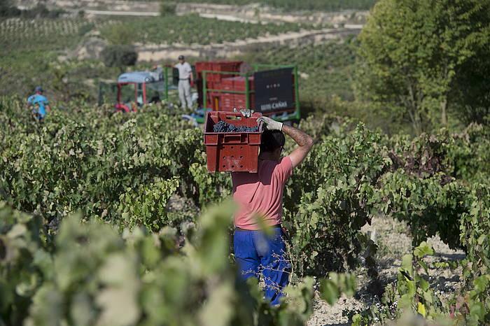 Arabako Errioxako mahasti batean bilketa egiten, iaz. ©IÑIGO URIZ / FOKU