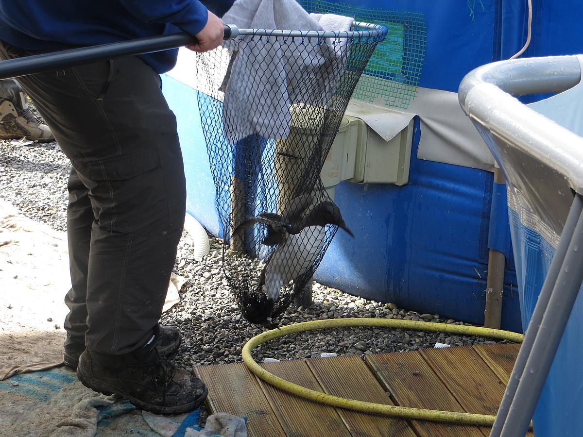 Larrialdiko egitura osatu behar izan dute Hegalaldia elakrteko kideek, denboraleak ahuldutako hegaztiak artatzeko. ©ITSASO CUEVAS