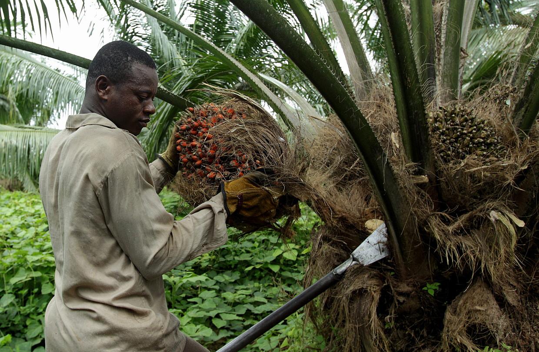 Palma olioaren ustiapenetako langileen egoera oso txarra izaten da gehienetan, inolako bermerik gabe aritzen baitira lanean.
