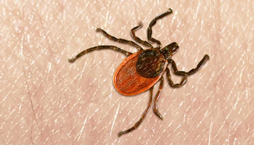 Euskal Herrian, arrunta da <em>Ixodes ricinus</em> akaina. Horietako %4-10 daude kutsatuta Lymeren gaitza eragiten duen bakterioarekin.