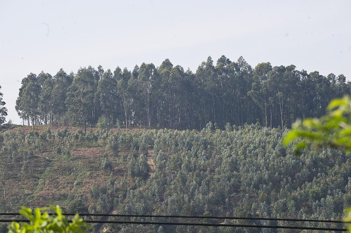 Gaur egun, pinuak eta eukaliptoak dira nagusi Bizkaiko basoetan. ©LUIS JAUREGIALTZO / ARGAZKI PRESS