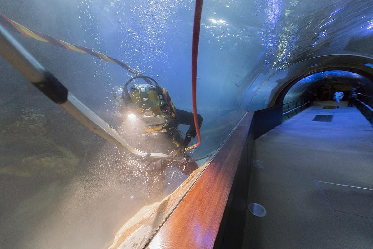 Urpekari bat, Donostiako Aquariumeko tunelean mantentze lanak egiten. ©GORKA RUBIO / FOKU