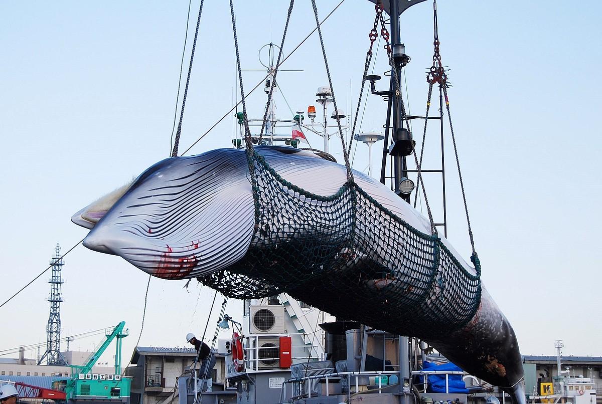 Beharginak Minke balea ale bat deskargatzen, joan den urteko irailaren 4an Kushiroko portuan (Japonia). ©JIJI PRESS/ EFE