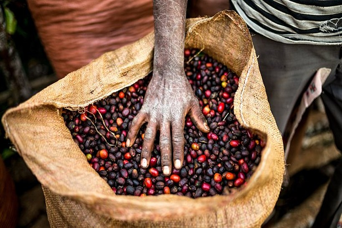 <b>Kafe bildu berria. </b>Etiopiako Yayu basoan jasotako uzta. &copy;ALAN SCHALLER / UNION HAND-ROASTED COFFEE