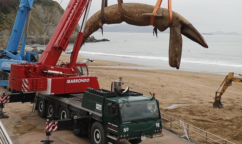 Sopelako Atxabiribil hondartzan agertutako balea garabiarekin jasotzen.
