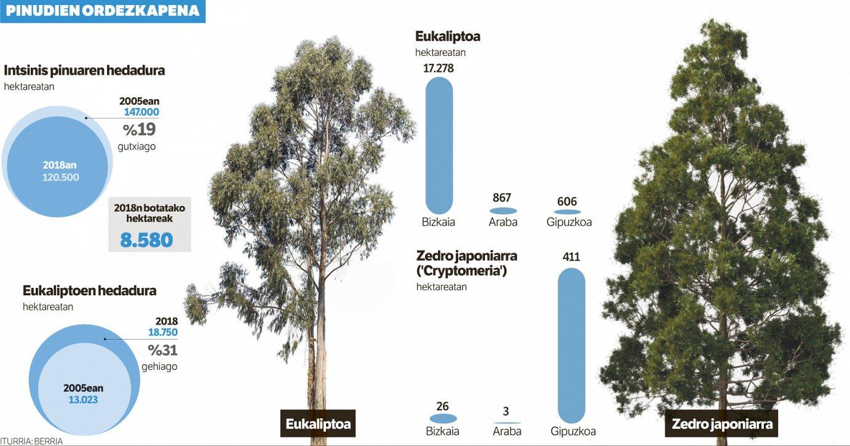 Sartaldean eukaliptoa, sortaldean 'Cryptomeria'