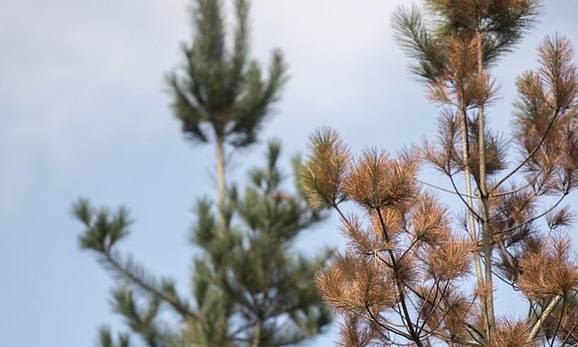 Intsinis pinu bi: bata osasuntsu, eta bestea xingola marroiaren gaitzarekin. ©GORKA RUBIO / FOKU