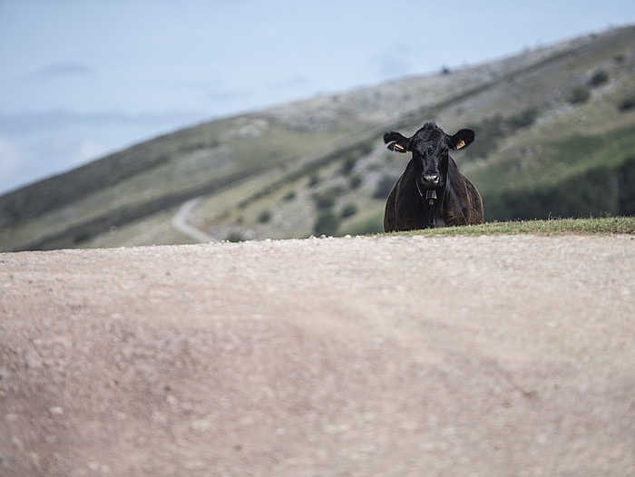 Abere bat Aralarren, pista baten alboan, uda honetan. ©JAGOBA MANTEROLA / FOKU