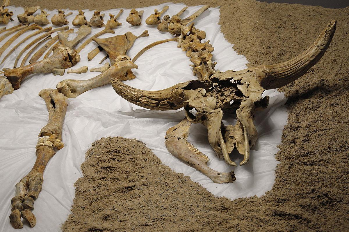 <em>Kiputz, amildegia historiaurrean</em> erakusketan ikusgai dagoen estepa bisontearen hezurdura. ©MAIALEN ANDRES / FOKU