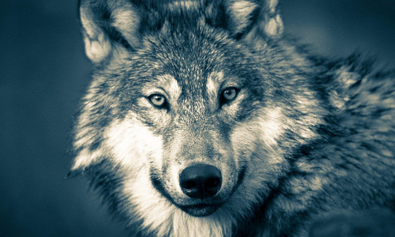 Otsoa (<em>Canis lupus</em>). ©MOHAMED HASSAN / PXHERE